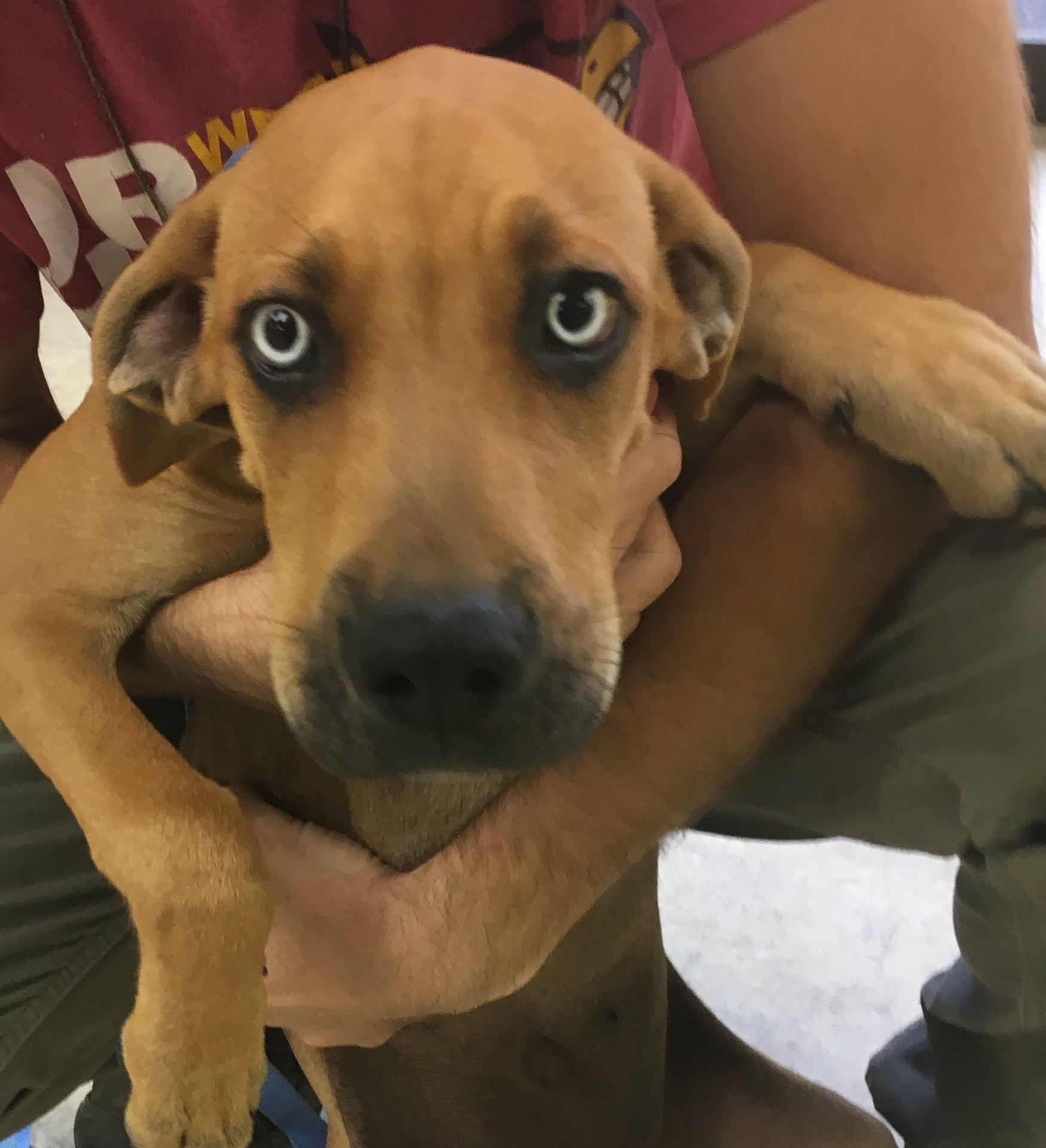 Boone, 4 month old Male, Hound mix