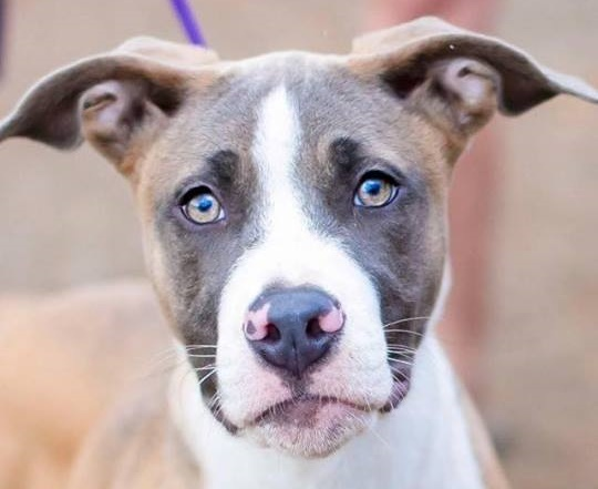 Lola, 4 month old Female, Pit mix
