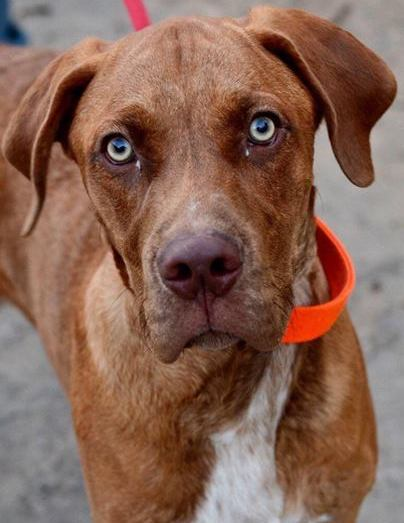 Mahogany,  1 1/2  year old Male, Hound/Pit mix