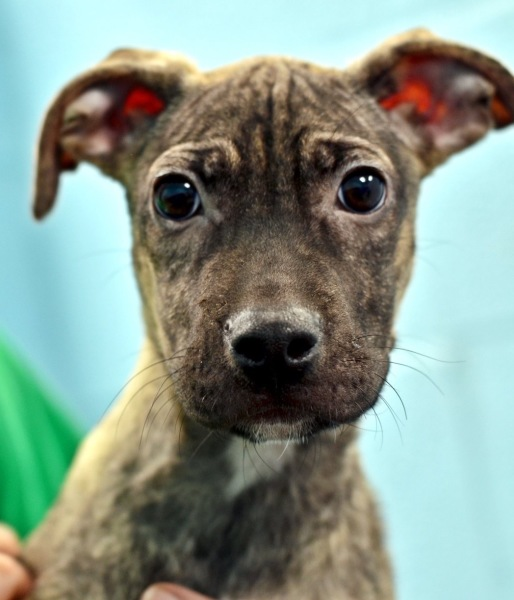 Marquis, 4 month old Male, Pit mix