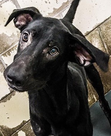 Robin, 10 month old Male, Great Dane mix
