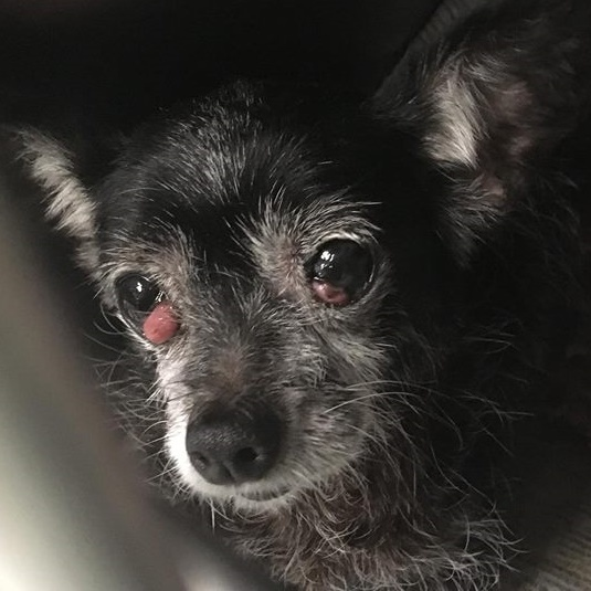 Sara Beth,  8 year old Female, Chihuahua mix