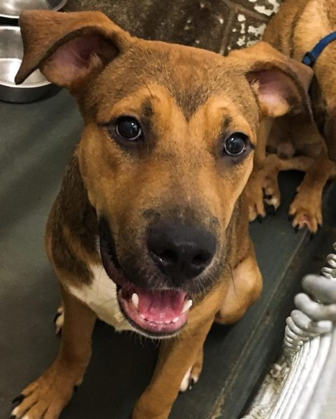 Shine, 1 year old Male, Hound/Shepherd mix