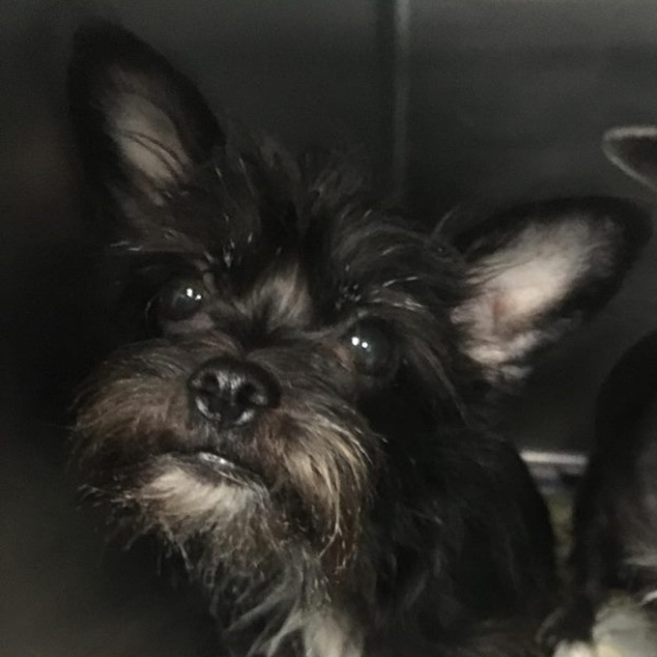 Twinkles, Female, Wire Haired Terrier