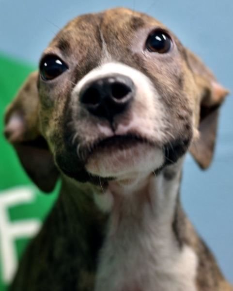 Xianna, 4 month old Female, Pit mix
