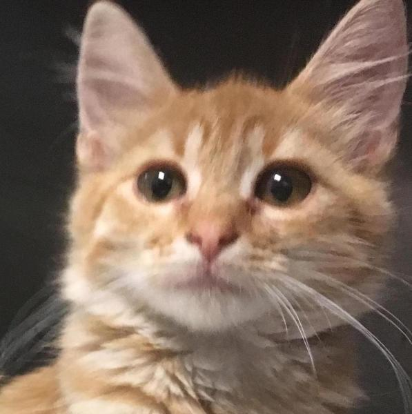 Lucy, 8 week old Female, DSH