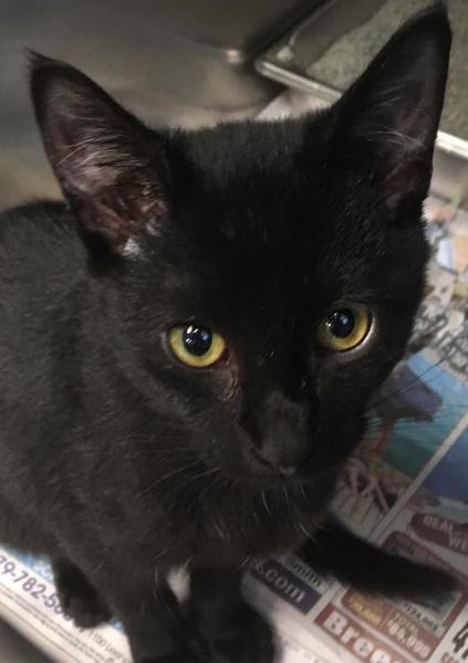 Haley, 7 month old Female, DSH