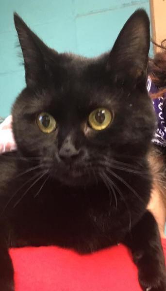Sabrina,  1 1/2 year old Female, DSH