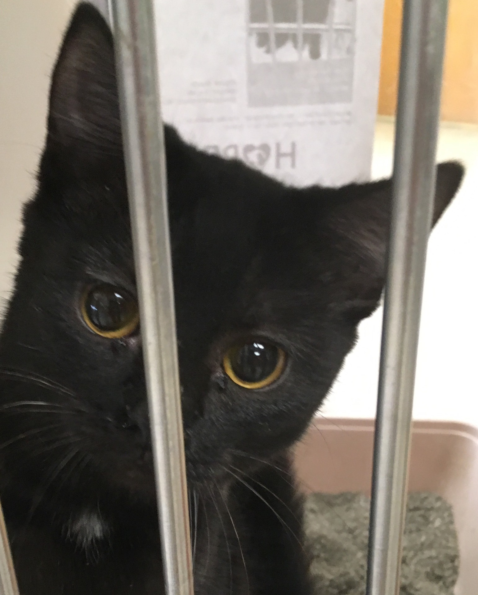 Halo, 6 month old Male, DSH