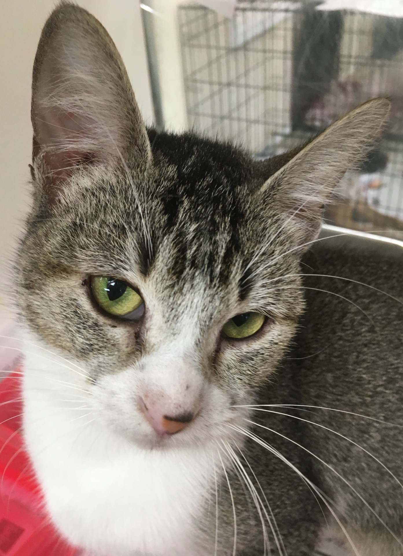 Lilac, 10 month old Female, DSH