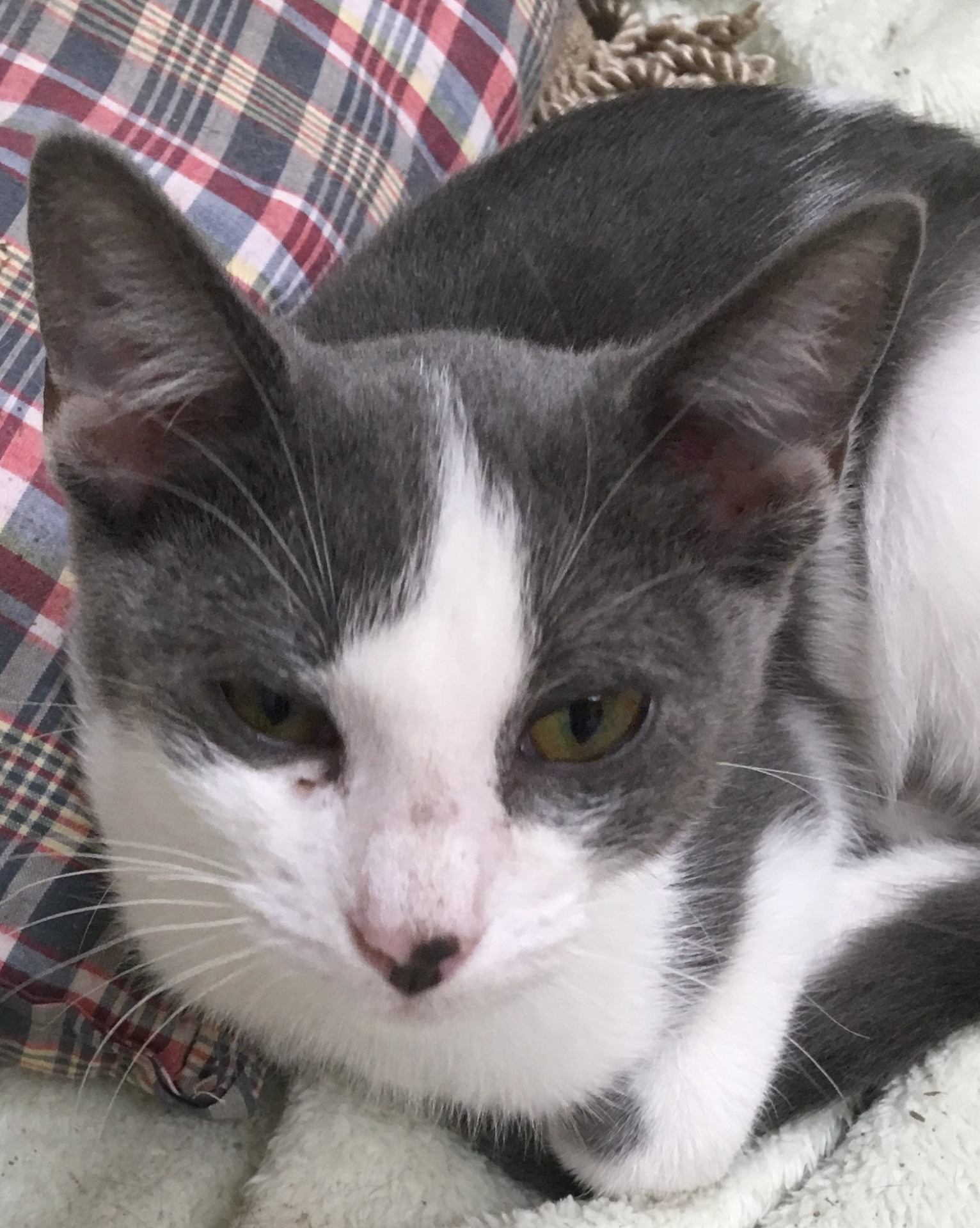 Mickey, 6 month old Male, DSH