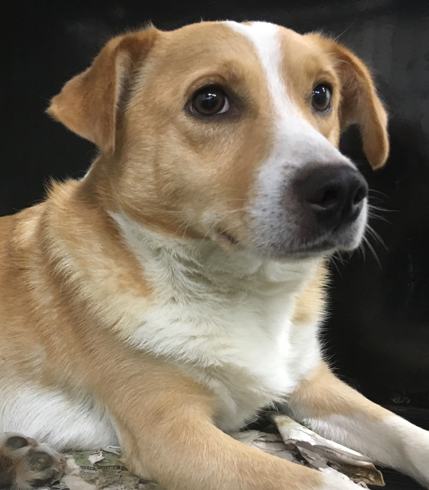 Nugget, 1 1/2 year old Male, Corgi mix