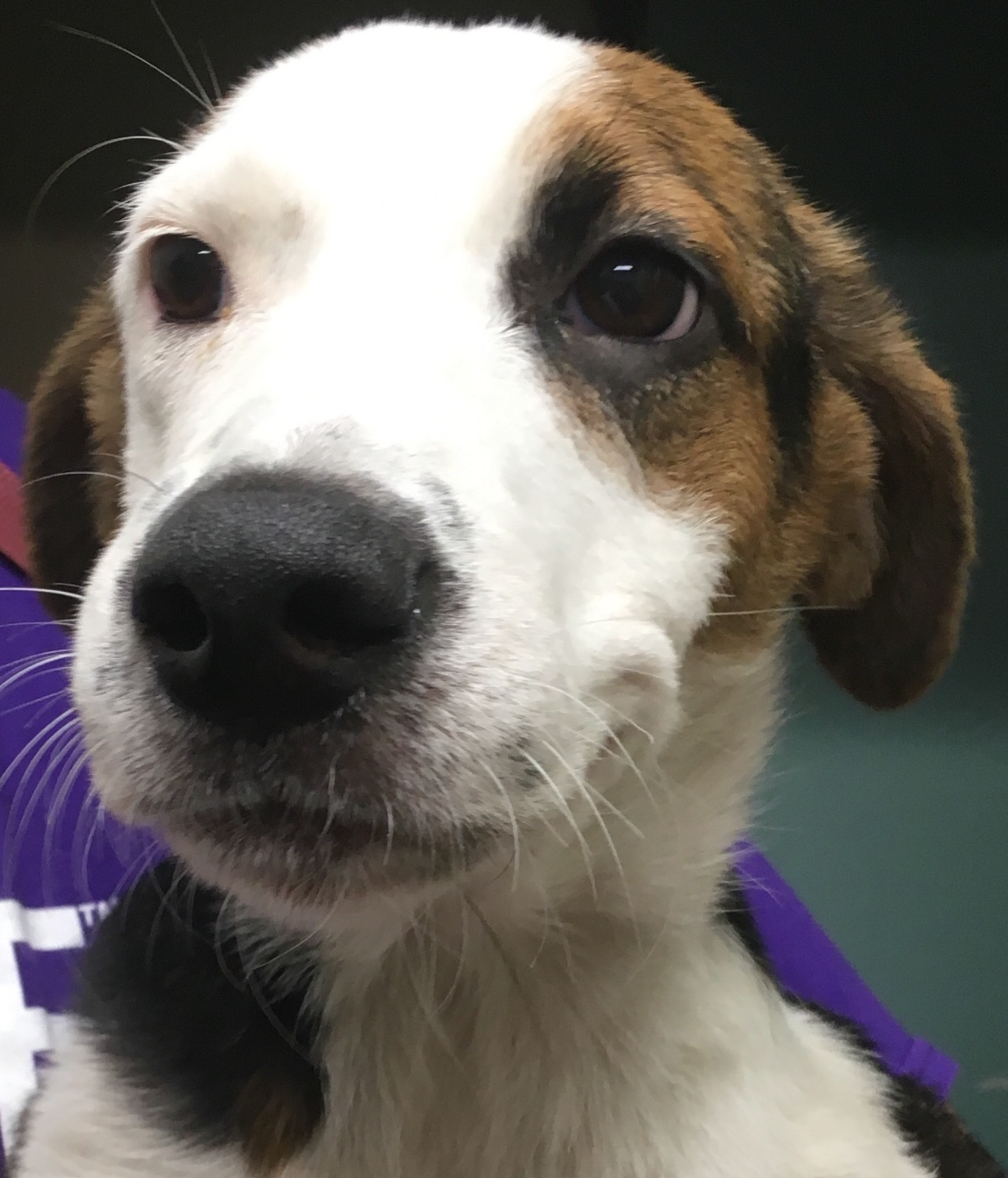 Daisy, 5 month old Female, Hound mix