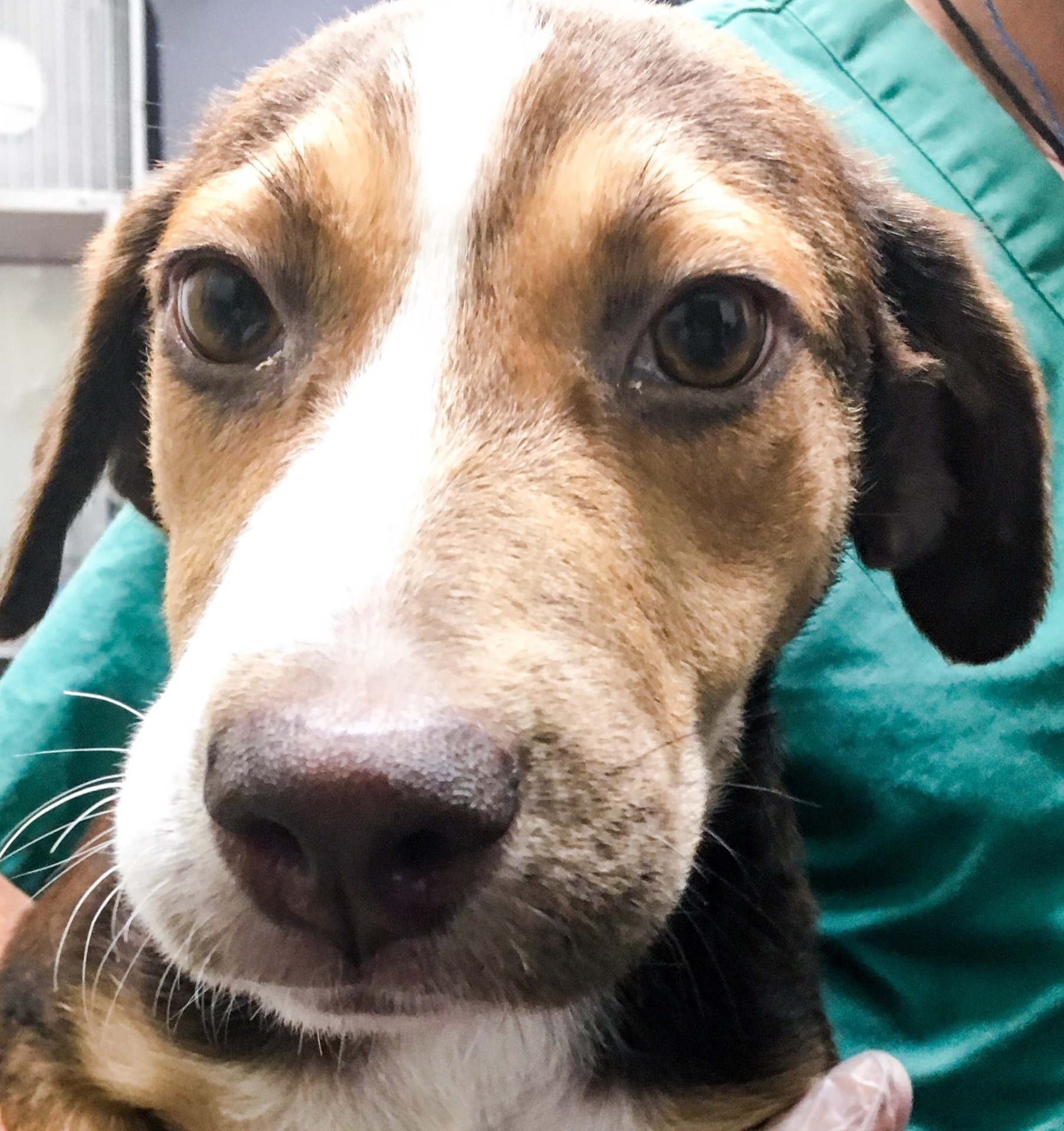 Rose, 5 month old Female, Hound mix