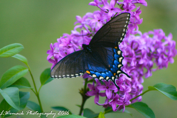 BLUE SWALLOW TAIL BUTTERFLY