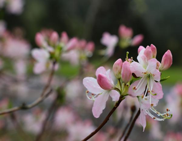 Shell Pink Azaela on the Blue Ridge Parkway