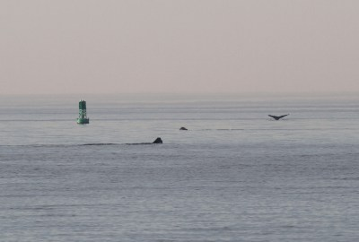 Right whales feeding in Cape Cod Bay off Sesuit Harbor, Dennis, Massachusetts.