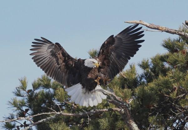 Bald Eagles on Cape Cod