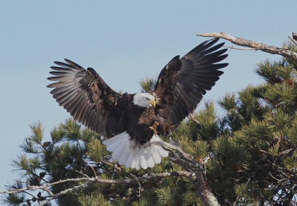 Bald Eagles on Cape Cod