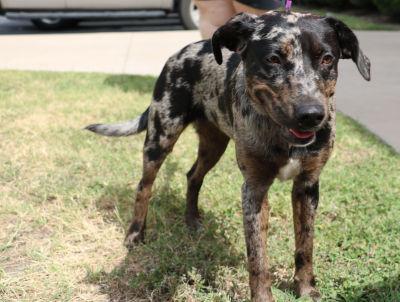 Callie - Adopted: 9/10/2016
