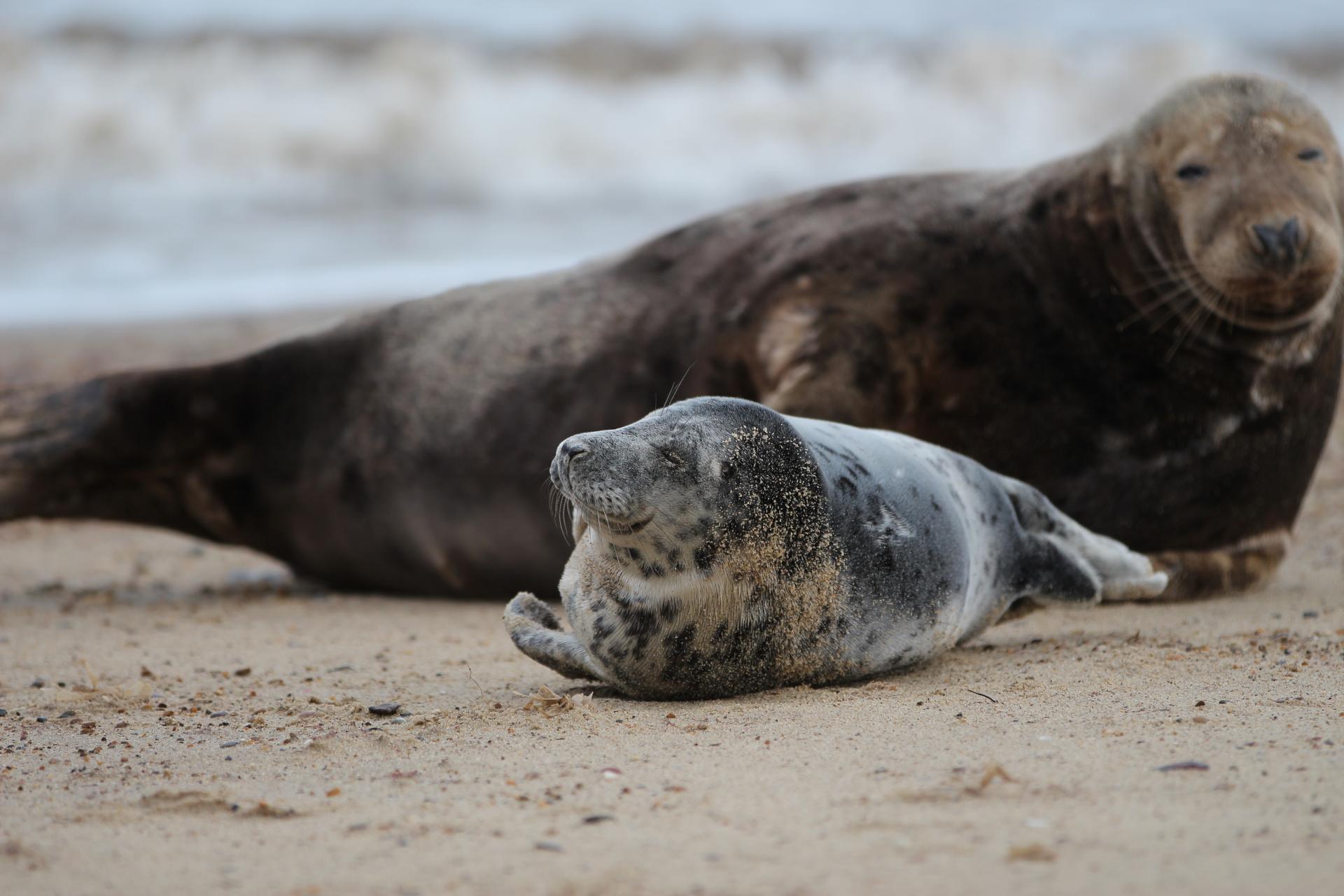 Seal Pup at Horsey Gap Norfolk