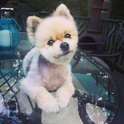 pomeranian on a table