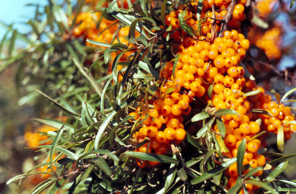 Miracle berries seabuckthorn