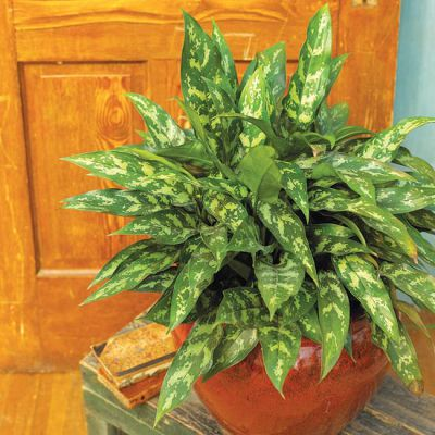 Chinese Evergreen 'Commutatum'