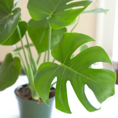 Slit Leaf Philodendron