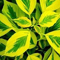 Golden Shadows Dogwood - Luxuriant Gardens