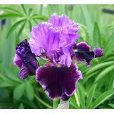 Luxuriant Gardens - Violet Turner Bearded Iris