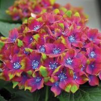 Luxuriant Gardens - Pistachio Hydrangea