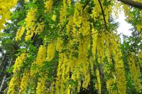 Golden Chain Tree, Laburnum