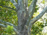 Sycamore Tree, Sycamore Maple
