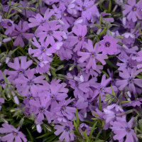 Phlox (Phlox subulata 'Purple Beauty')
