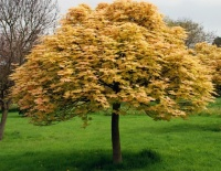 Sycamore Maple 'Brilliantissimum'