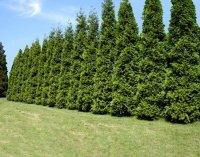 Thuja Green Giant Aborvitae (Thuja standishii x plicata)