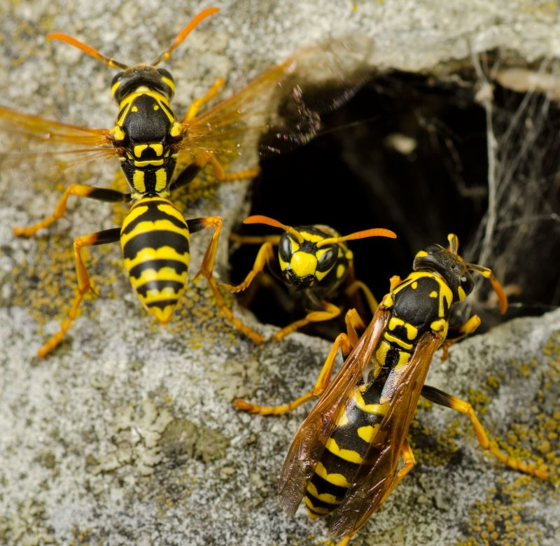 How To Control Yellowjacket Wasps In Gardens