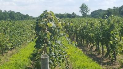 Hudson Valley Vineyard