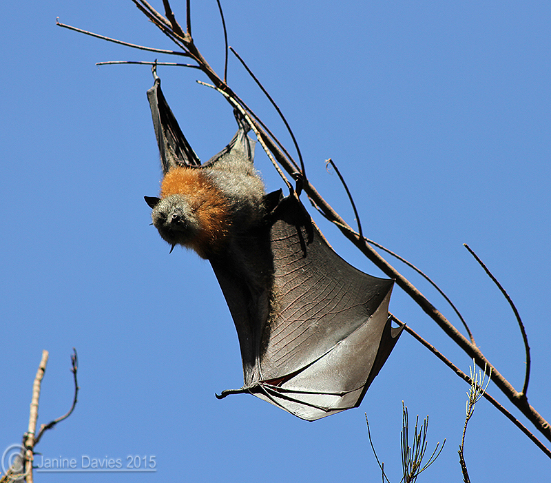 Biology of grey-headed flying foxes on the Far South Coast