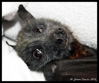Batsh*t crazy! Swarm of 100,000 bats invades Australian town