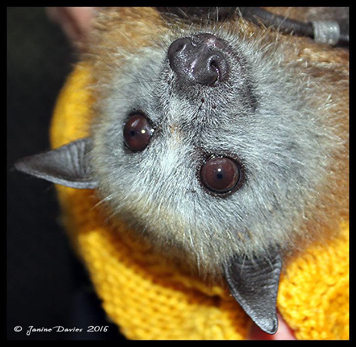A swarm of 100,000 bats.....