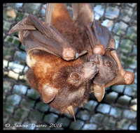 bat, flying-fox, flying fox, megabat, fruitbat, microbat, chiroptera, pteropus, scapulatis, bat rescue, shoalhaven bats