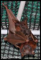 bat, chiroptera, scapulatus, megabat, flying-fox, bat rescue