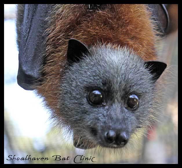 Batemans Bay overtaken by mass of bats