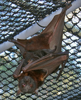 bat, chiroptera, pteropus, flying-fox, megabat, fruitbat, bat rescue, scapulatus