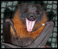 bats, flying-foxes, chiroptera, pteropus, megabat, fruitbat