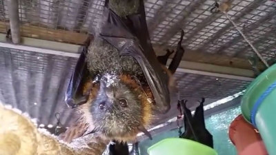 Richmond Valley Council are set to undertake a flying fox disperal program