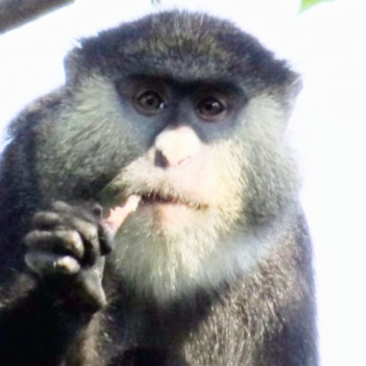 Scientists capture first footage of African monkeys eating bats
