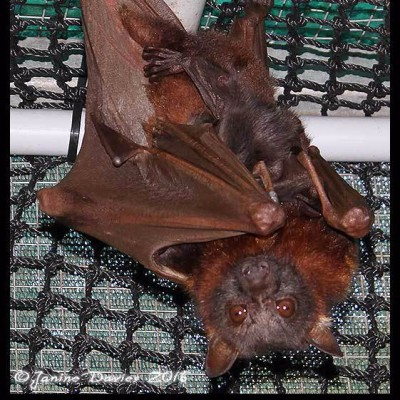 Plea for a little flying fox love